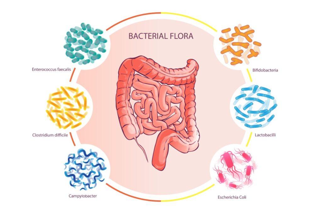 črevná mikrobiota mikroflora