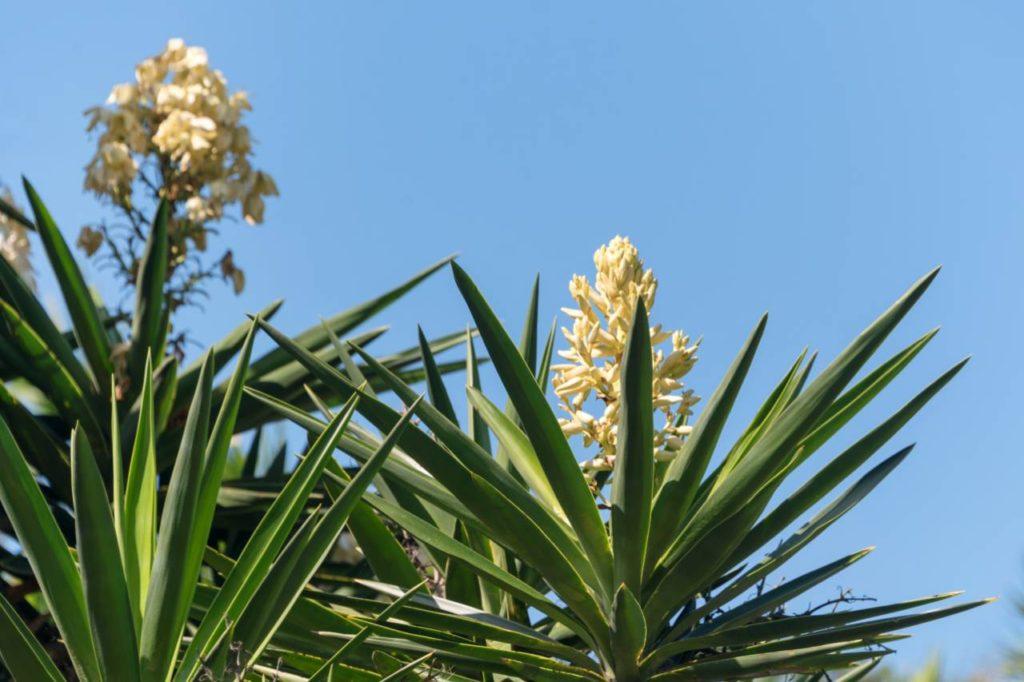 yucca detox kvitnuca palma