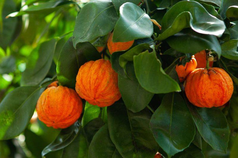 synefrín horký pomaranč